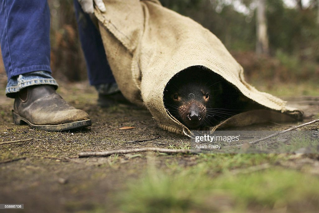A Tasmanian Devil is released in the wild after being captured to check for signs of the Devil Facial Tumor Disease October 10, 2005 near Fentonbury, Australia. The Devil, a native marsupial unique to Tasmania, is under threat from Devil Facial Tumor Disease (DFTD) which is decimating numbers throughout Tasmania. Several devils are being monitored under quarantine situations on the mainland, while another group have been moved to Maria Island, to form an 'insurance population' should the disease spread. The Devils have just been listed as a 'vulnerable' species due to the disease.