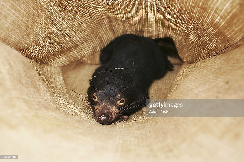 A Tasmanian Devil is seen in a sack after being captured in the wild to check for signs of the Devil Facial Tumor Disease October 10, 2005 near Fentonbury, Australia. The Devil, a native marsupial unique to Tasmania, is under threat from Devil Facial Tumor Disease (DFTD) which is decimating numbers throughout Tasmania. Several devils are being monitored under quarantine situations on the mainland, while another group have been moved to Maria Island, to form an 'insurance population' should the disease spread. The Devils have just been listed as a 'vulnerable' species due to the disease.