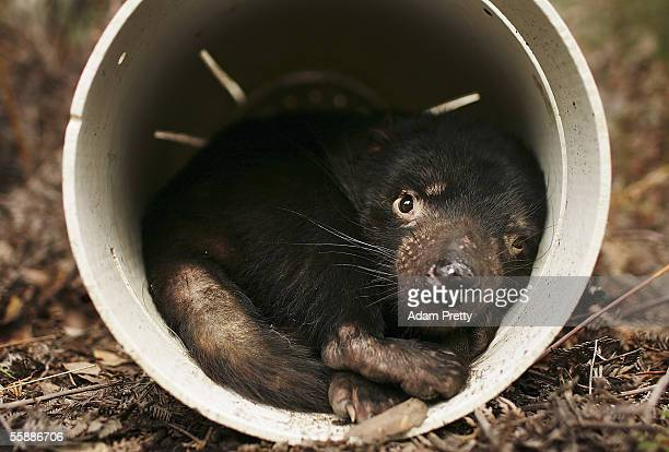 Tasmanian Devil is seen in a trap after being captured in the wild to check for signs of the Devil Facial Tumor Disease October 10 2005 near...