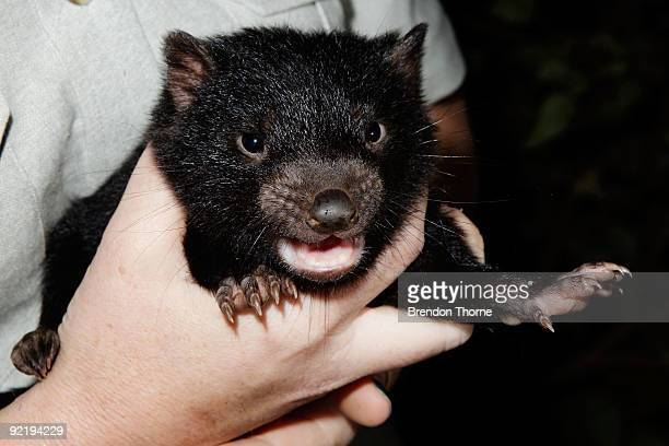 Tasmanian Devil joey is seen at Taronga Zoo on October 22 2009 in Sydney Australia Staff at Sydney's Taronga Zoo are conducting tests to determine...