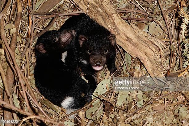 Tasmanian Devil joeys are seen at Taronga Zoo on October 22 2009 in Sydney Australia Staff at Sydney's Taronga Zoo are conducting tests to determine...