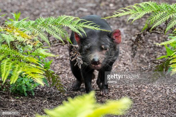 Tasmanian devil largest carnivorous marsupial native to Australia