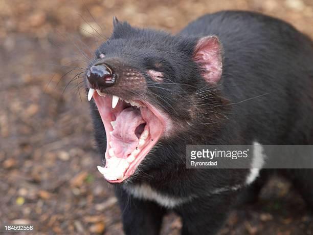 demonio de tasmania boca - demonio de tasmania fotografías e imágenes de stock