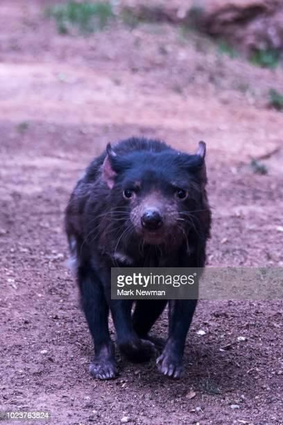 tasmanian devil - especies amenazadas fotografías e imágenes de stock