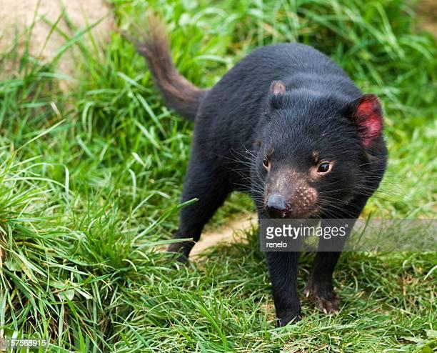 demonio de tasmania - demonio de tasmania fotografías e imágenes de stock