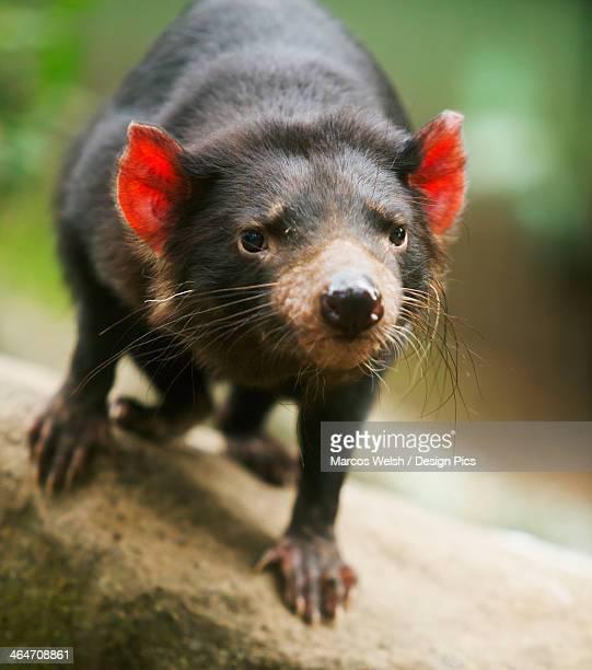tasmanian devil (sarcophilus harrisii) - demonio de tasmania fotografías e imágenes de stock