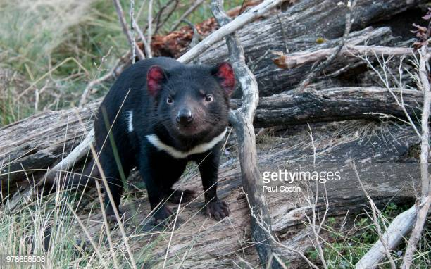 tasmanian devil - demonio de tasmania fotografías e imágenes de stock