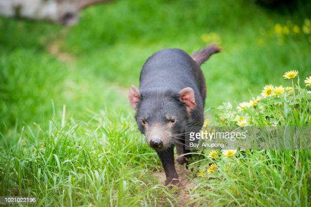 tasmanian devil running in the track of phillip island conservation park, australia. - demonio de tasmania fotografías e imágenes de stock