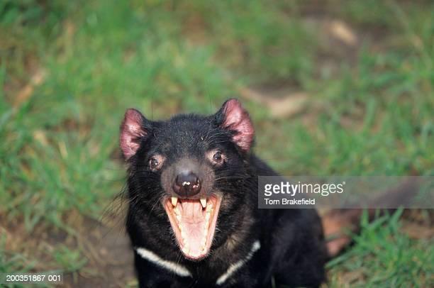 tasmanian devil (sarcophilus harrisii) snarling, close-up, australia - demonio de tasmania fotografías e imágenes de stock