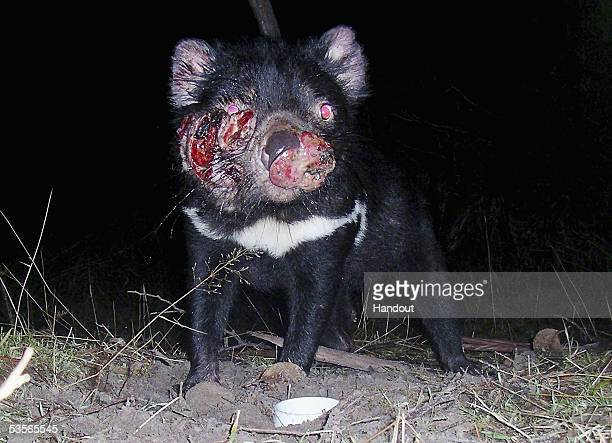 A Tasmanian Devil suffering from Devil Facial Tumor Disease is seen in this file photo July 15 2005 near Hobart Australia The Devil a native...