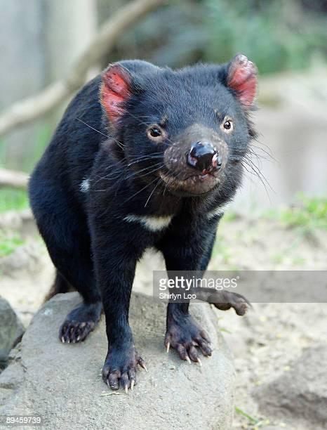 tasmanian devil tasmania's state icon - demonio de tasmania fotografías e imágenes de stock