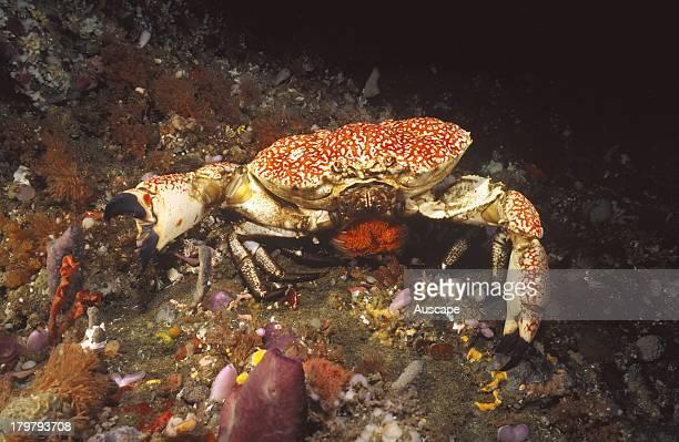 Tasmanian giant crab Pseudocarcinus gigas female carrying eggs Tasmania Australia