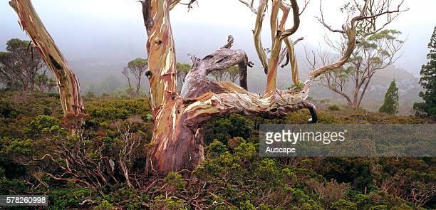 Tasmanian snow gum Eucalyptus coccifera in Waterfall Valley Cradle MountainLake St Clair National Park Tasmania Australia