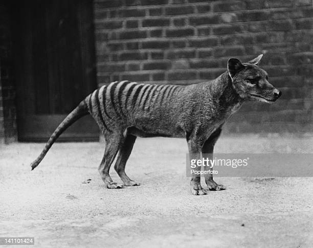A Tasmanian tiger or thylacine in captivity circa 1930 The species is believed to have become extinct in the early 20th Century
