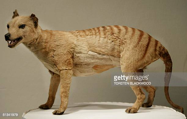 Tasmanian tiger which was declared extinct in 1936 is displayed at the Australian Museum in Sydney 25 May 2002 Professor Mike Archer has led a team...