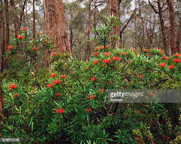 Tasmanian waratah Telopea truncata Central Plateau Protected Area Tasmania Australia