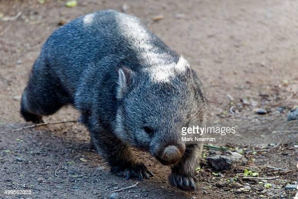 Tasmanian Wombat, Vombatus ursinus tasmaniensis