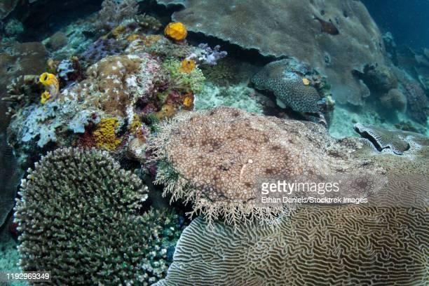 a tasselled wobbegong, eucrossorhinus dasypogon, lies on the seafloor. - fransenteppichhai stock-fotos und bilder