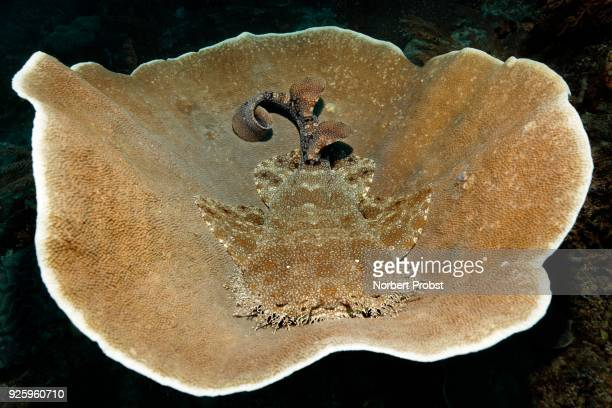 tasselled wobbegong (eucrossorhinus dasypogon) lying on deck coral (coscinarea macneilli), raja ampat, papua barat, west papua, pacific, indonesia - fransenteppichhai stock-fotos und bilder