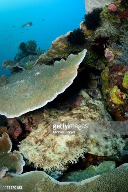 quasten-wobbegong-hai - fransenteppichhai stock-fotos und bilder