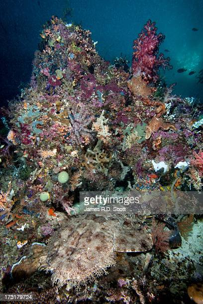 tasselled wobbegong shark - fransenteppichhai stock-fotos und bilder