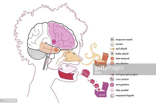 Taste Illustration The Nervous Path Of The Taste Of Aliments From The Lingual Mucous To The Gustative Area And In Parallel The One Of Smelling From...