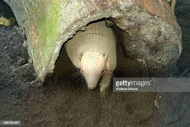 Tatupeba - Armadillo (Euphractus sexcinctus)