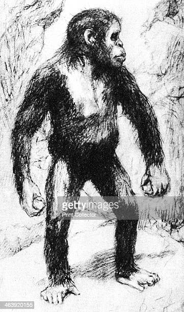Taungs ApeMan Artist's drawing of Australian anatomist and ethnologist Grafton Elliot Smith's idea of the appearance of a young Australopithecus...