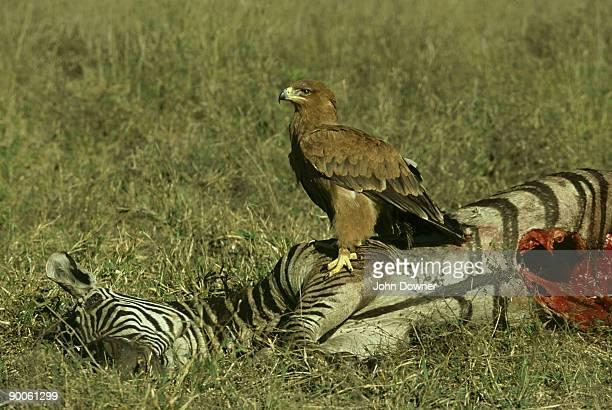 tawny eagle: aquila rapax  on zebra carcass  selous zimbabwe