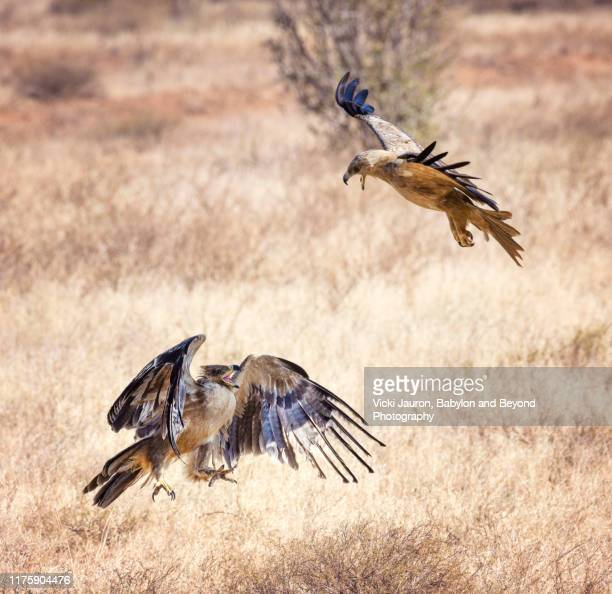 tawny eagle attacking a lesser spotted eagle in dramatic battle at samburu, kenya - territory stock pictures, royalty-free photos & images