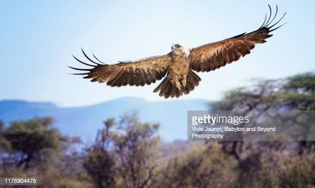 tawny eagle in elegant flight against blue sky and landscape at samburu, kenya - spread wings stock pictures, royalty-free photos & images