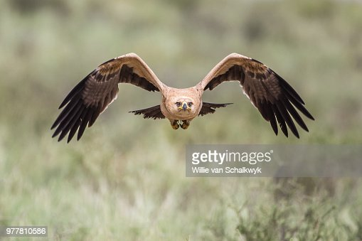 600 Tawny Eagle Photos And Premium High Res Pictures Getty Images