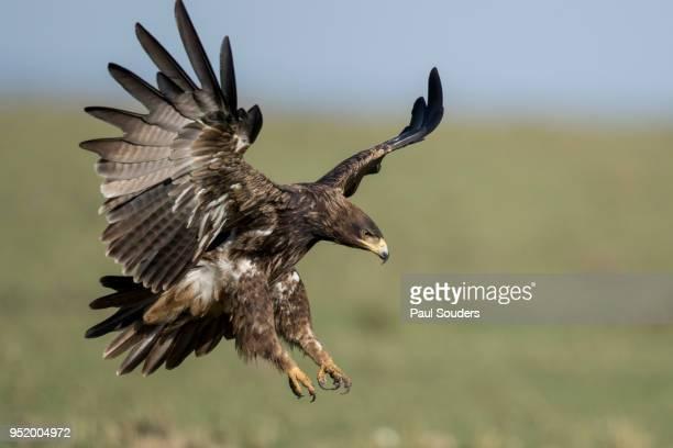 Tawny Eagle, Masai Mara Game Reserve, Kenya