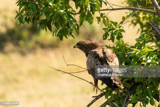 a tawny eagle perched on a tree inside masai mara national reserve during a wildlife safari - black chested snake eagle stock pictures, royalty-free photos & images