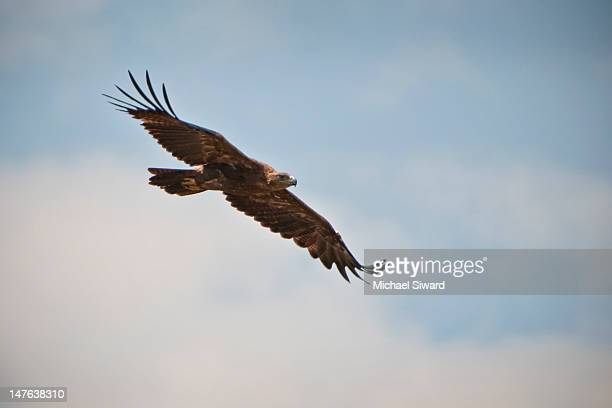 tawny eagle - michael siward stock pictures, royalty-free photos & images