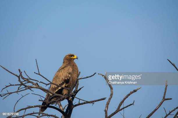 a tawny eagle resting on a tree - eagle stock pictures, royalty-free photos & images