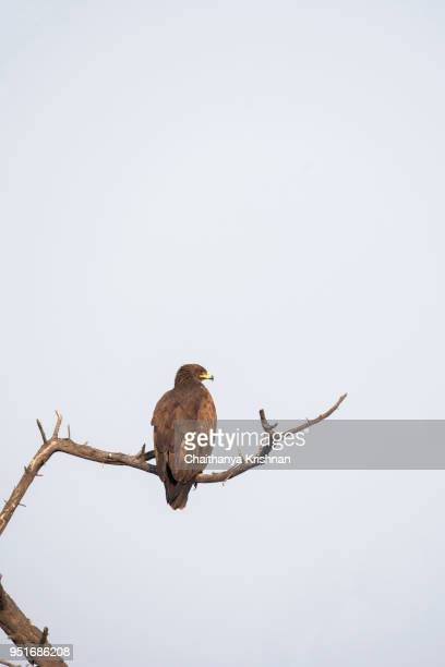 a tawny eagle sitting on a branch inside bharatpur - eagle stock pictures, royalty-free photos & images
