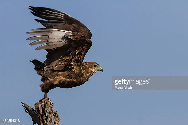 tawny eagle starting flight - birds_of_prey stock pictures, royalty-free photos & images