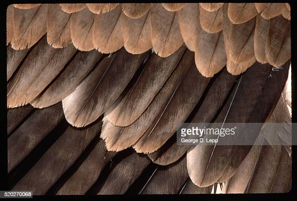 Tawny Eagle Wing Feathers