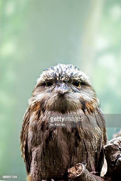 tawny frogmouth - ken ilio stock photos and pictures