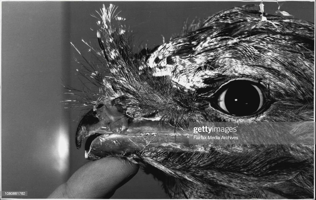 Tawny Frogmouth.... Taronga Zoo Vet. Larry Vogelnest does a beak repair to a tawny frogmouth...After the operation.Beaky the tawny frogmouth was listed well down the operating list, after the wallaby with a dislocated hip, the iguana with nasty burns and : News Photo