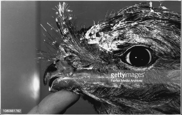 Tawny Frogmouth Taronga Zoo Vet Larry Vogelnest does a beak repair to a tawny frogmouthAfter the operationBeaky the tawny frogmouth was listed well...