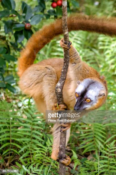 tawny lemur - lemur stock pictures, royalty-free photos & images