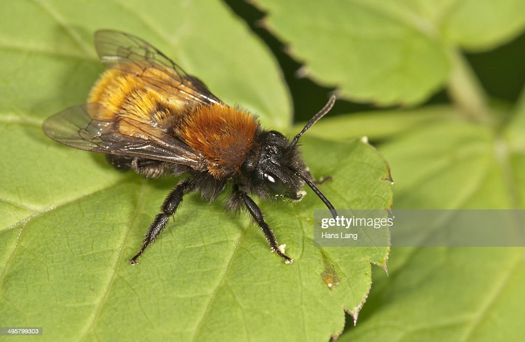 Tawny Mining Bee -Andrena fulva-, Untergroningen, Abtsgmuend, Baden-Wurttemberg, Germany : Stock Photo