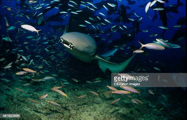 Tawny nurse shark Nebrius ferrugineu in the school of fish average size is about 200 to 250 cm Their diet consists of crabs octopuses corals sea...