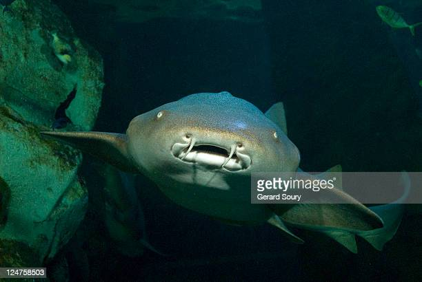 tawny nurse shark (nebrius ferrugineus), sea aquarium, le grau-du-roi, france - nurse shark stock photos and pictures