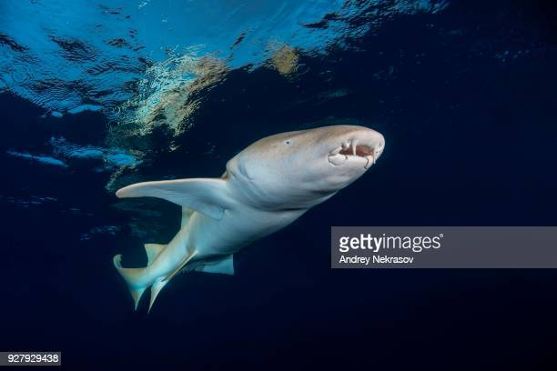 tawny nurse shark (nebrius ferrugineus) swims under surface of the water, indian ocean, maldives - nurse shark stock photos and pictures