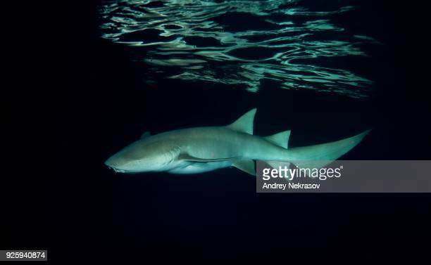 tawny nurse sharks (nebrius ferrugineus) swimming in the night, indian ocean, maldives - nurse shark stock photos and pictures