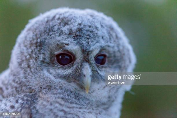 tawny owl baby strix aluco - latvia stock pictures, royalty-free photos & images