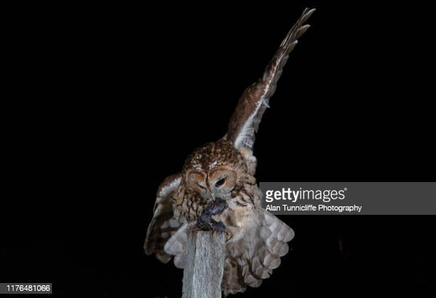 tawny owl feeding - hunting stock pictures, royalty-free photos & images